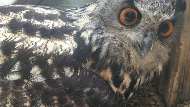 male owl gives birth to egg
