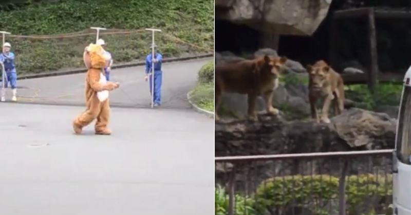 Funny videos of Japanese Zoo preparing for lion escapes