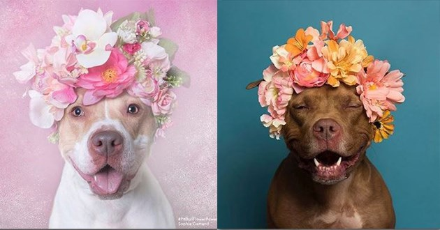 pit bulls with flowers on their heads