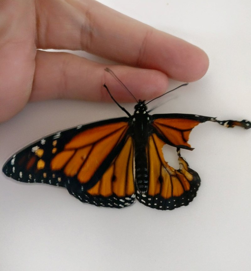 monarch butterfly is rescued and healed