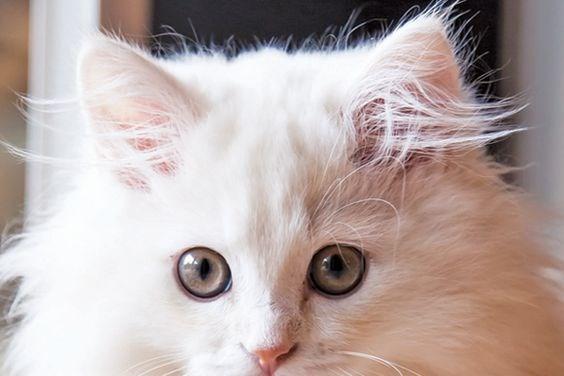 cat ear tufts cute