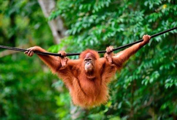 orangutan hanging on a rope