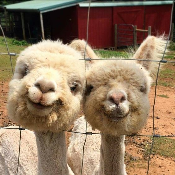 Funny smiling alpaca