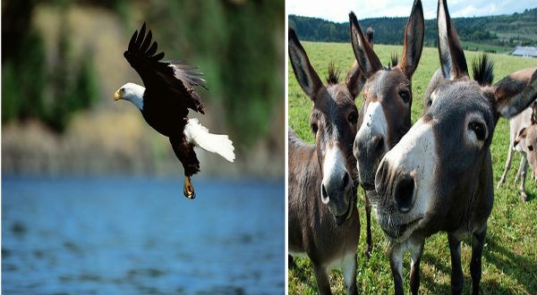 Patriotic eagle and a donkey