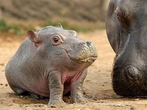 cute,hippo
