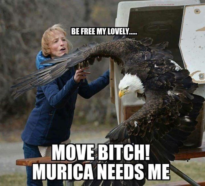 america bald eagle - 8746823424