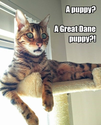 cat,puppy,great dane,caption