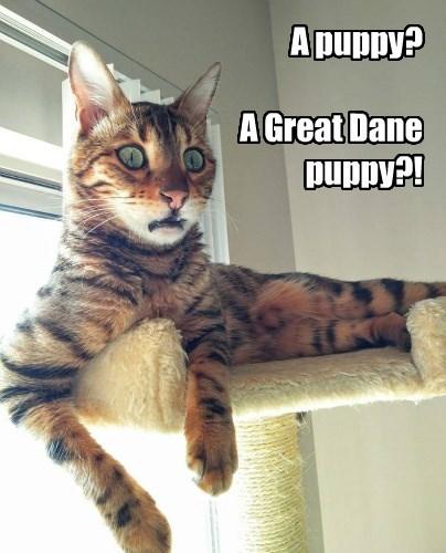 cat puppy great dane caption - 8747389696