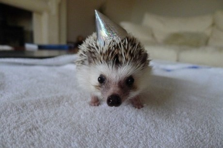 Party hedgehog hat