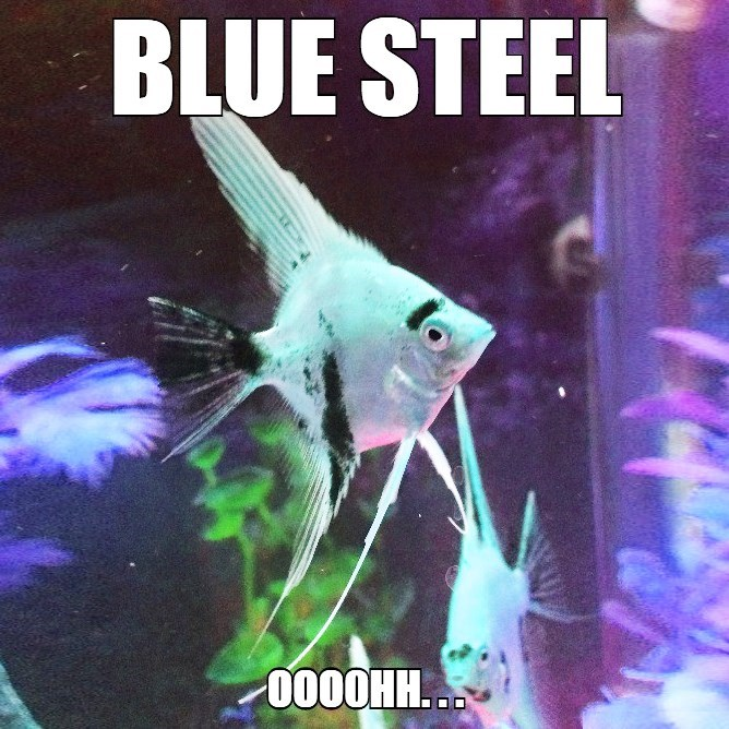blue steel caption fish - 8748423936