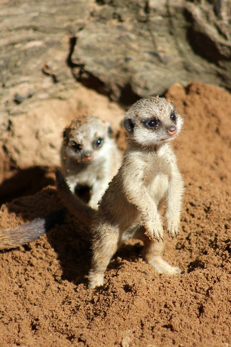 cute baby animals meerkat pups at taronga zoo have first day outside