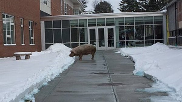 funny politics image pig shows up to New Hampshire polling place