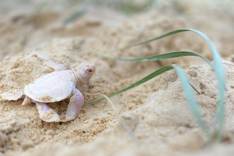 cute baby animal image albino green turtle baby found