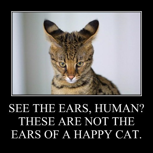 SEE THE EARS, HUMAN? THESE ARE NOT THE EARS OF A HAPPY CAT.