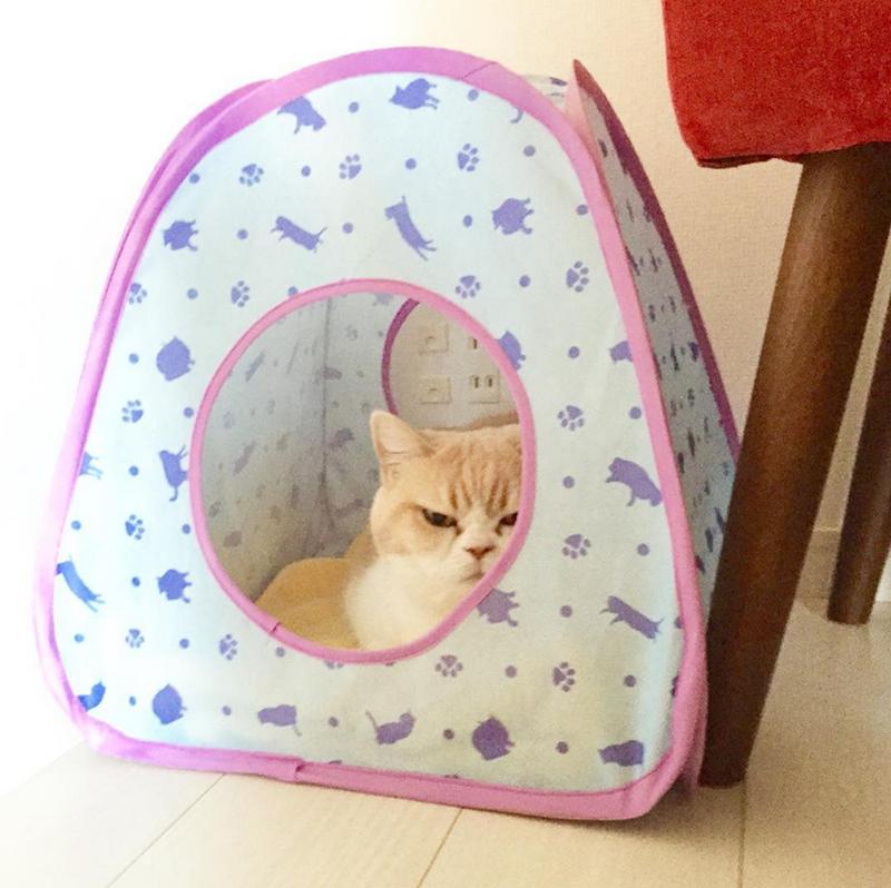 frowning koyuki cat - Cat in house
