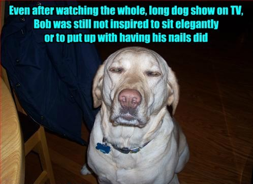Even after watching the whole, long dog show on TV, Bob was still not inspired to sit elegantly or to put up with having his nails did