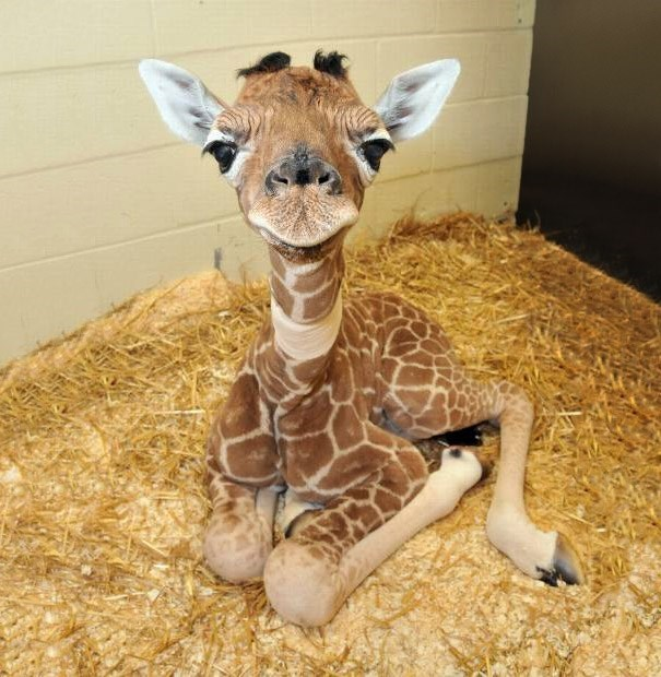 Baby Giraffes are one of the cutest animals