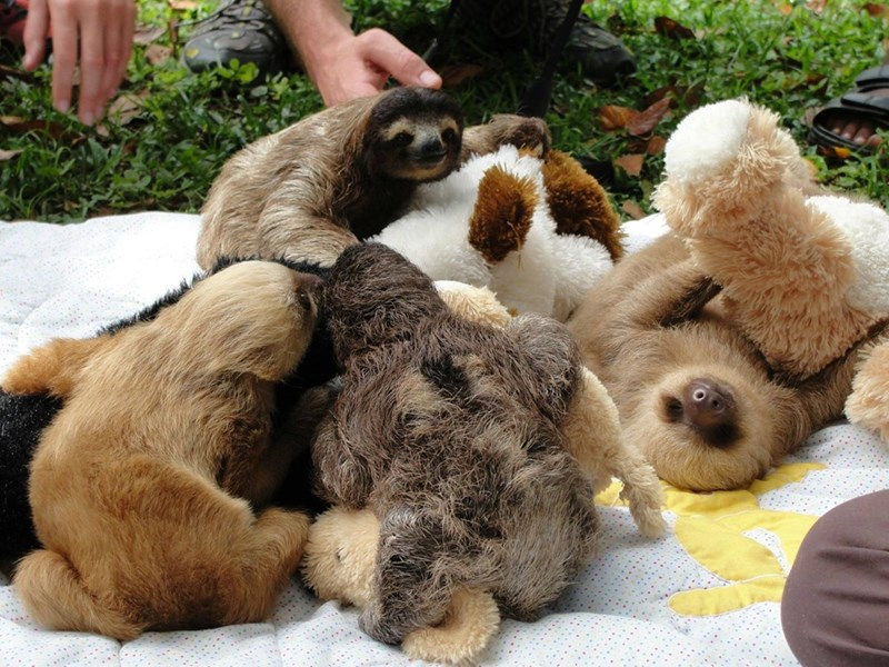 Because a picture of 3 baby sloths made the front page, here's four baby sloths playing with stuffed animals