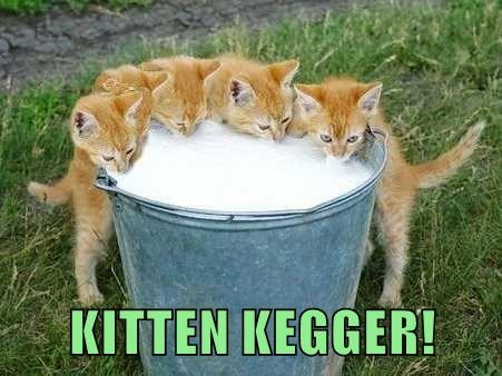 animals beer drinking kitten - 8752833024