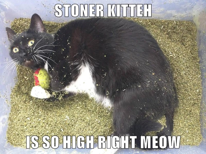 catnip high caption Cats - 8753566464