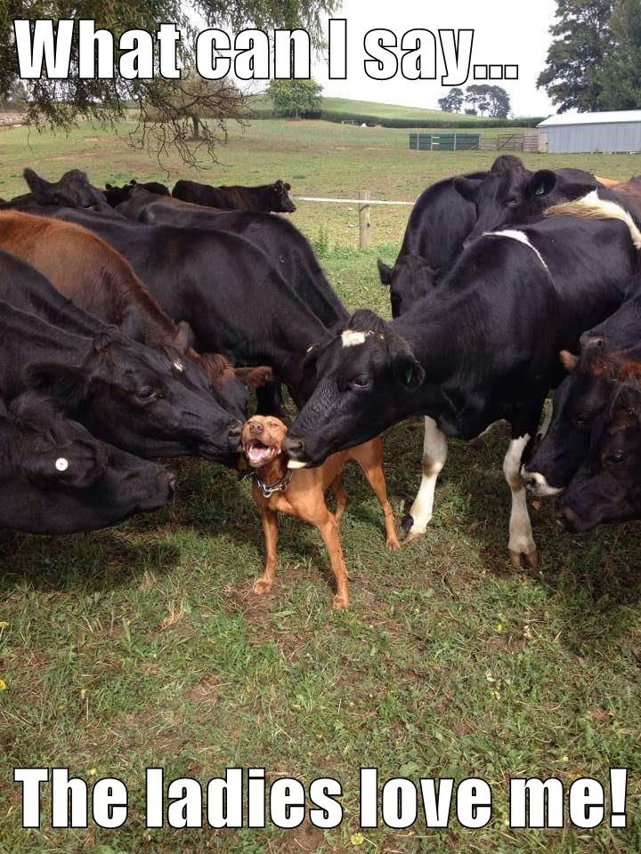 dogs,caption,cows