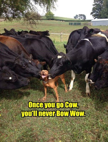 Once you go Cow,  you'll never Bow Wow.