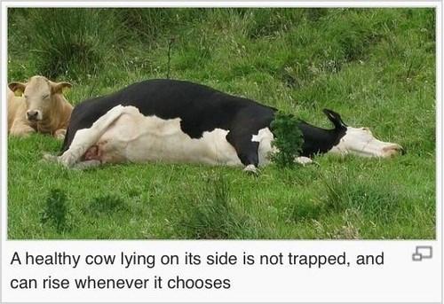 wikipedia,cows