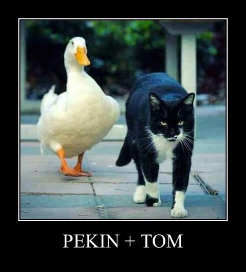 PEKIN + TOM