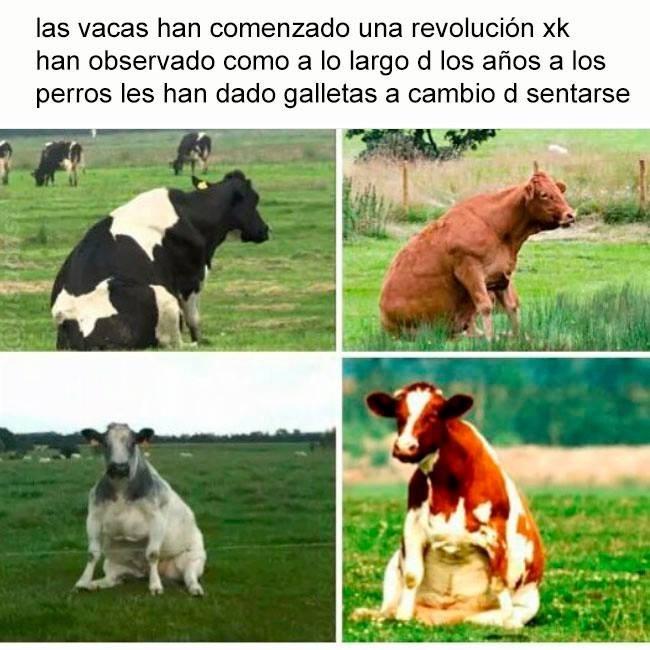 vacas sentadas