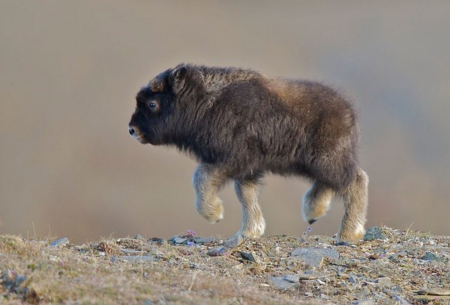 baby musk ox bison