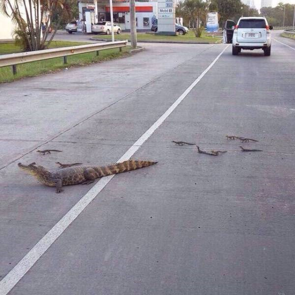 alligator family crosses the road