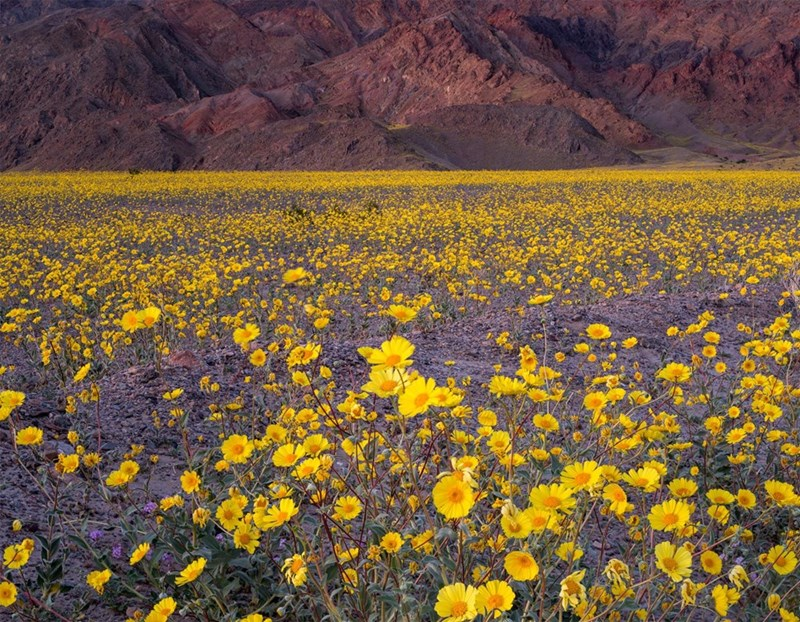 flowers desert image Death Valley Is Covered in Flowers in What's Known as a Very Rare 'Super Bloom'