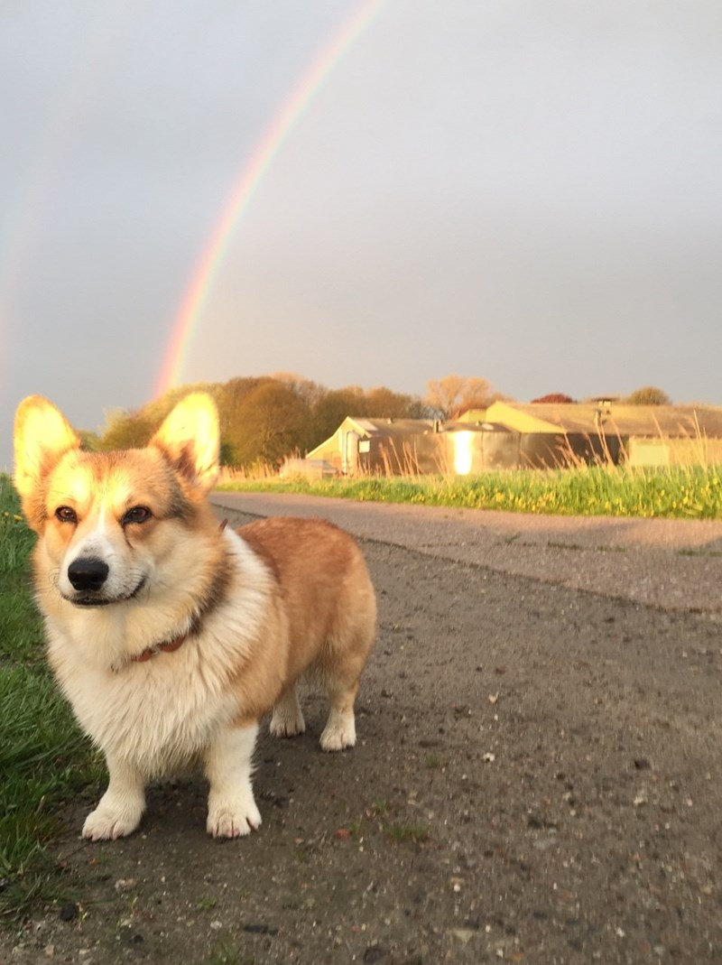 corgi at the end of a rainbow