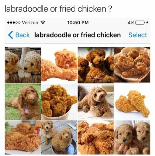 labradoodle chicken google images - 8757510400