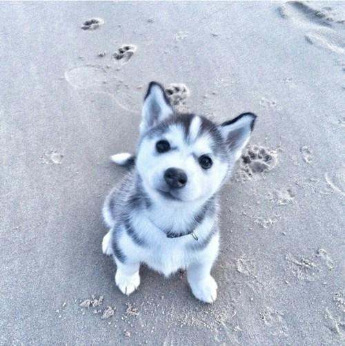 husky puppy at the beach