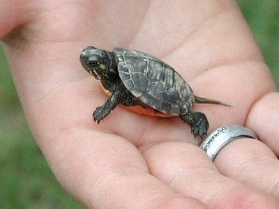 baby turtle could not be tinier