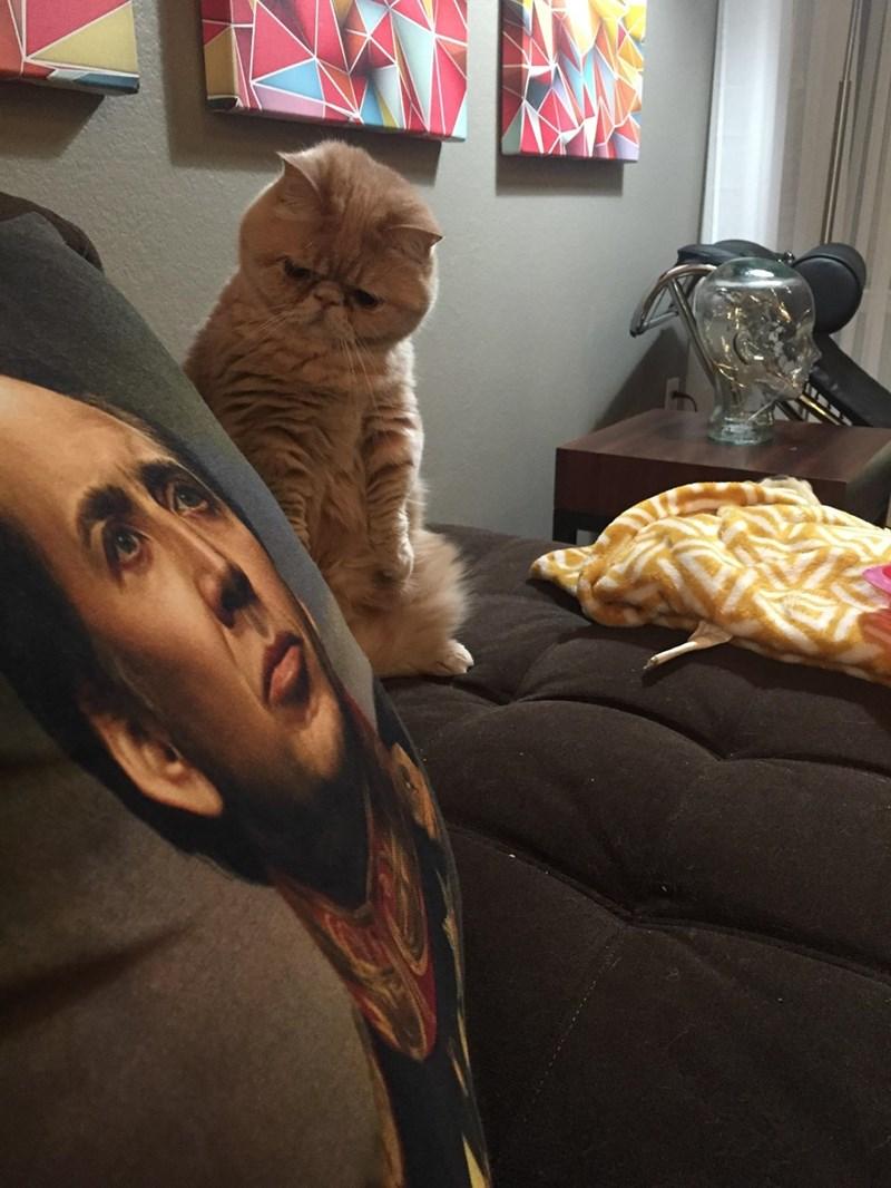cat isnt sure about nicolas cage pillow