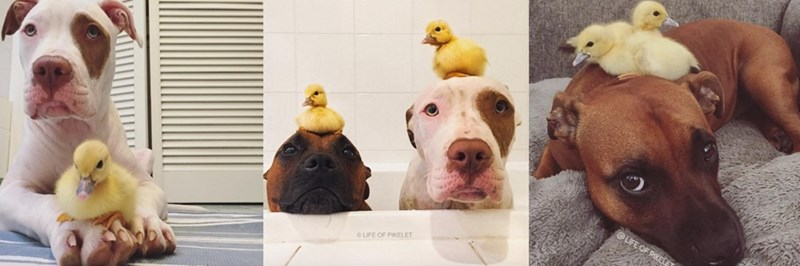 rescue dogs help foster ducklings