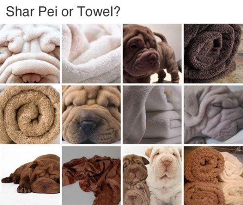 Shar pei - Shar Pei or Towel?