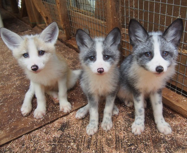 beautiful baby fox trio