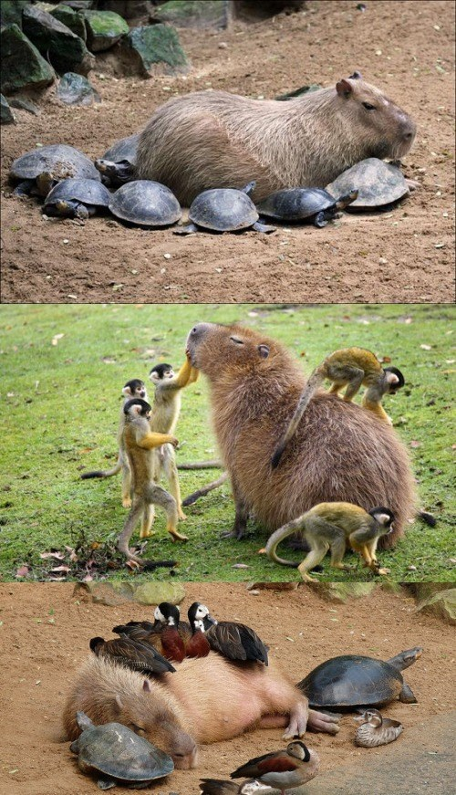 small creatures love capybaras