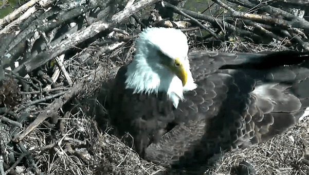 watch live stream bald eagles hatching