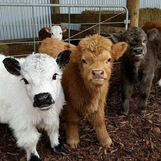 ridiculously photogenic cows