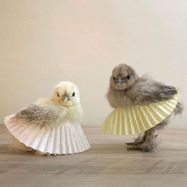 chicks chicken tutus cupcake