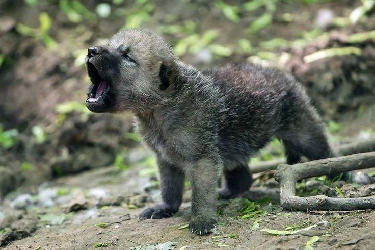 tiny wolf rawr