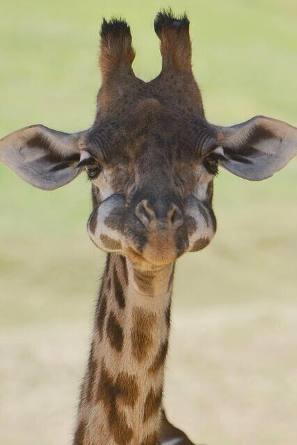 baby giraffe mouth full