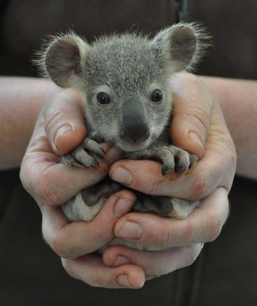 koala fits in the palm of your hand