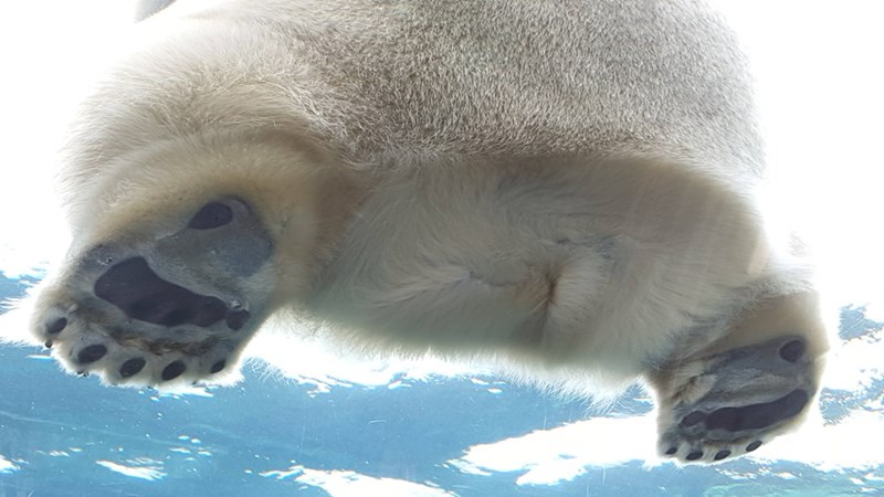 polar bear derriere