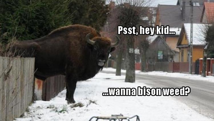 drugs,bison,puns