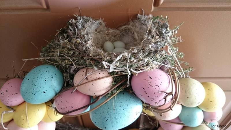 finch builds her nest on an Easter wreath